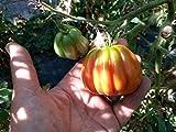 semi pomodoro canestrino di lucca