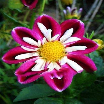 Generic Générique Da hlia Fleur Graines Belle Tropical Décoration Extérieure Bonsaï Plantes Graines - 4-50Pcs / Pack