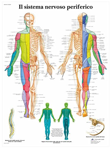 3B Scientific VR4621UU il Sistema Nervoso Periferico