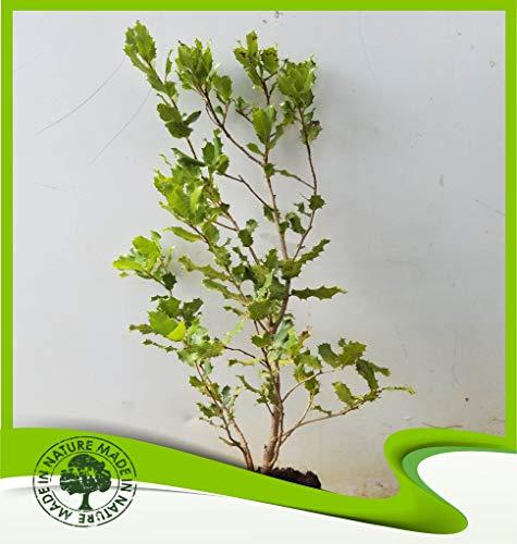 Quercus Coccifera (Kermes Eiche) - Pflanze