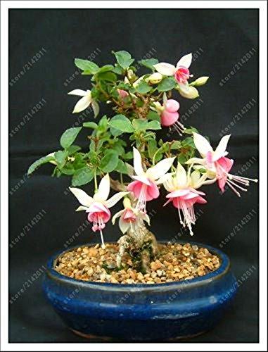 100 pcs/sac graines fuchsia, fuchsia fleurs, bonsaïs graines de fleurs suspendues, plante en pot Lanterne graines Begonia pour le jardin à la maison 3