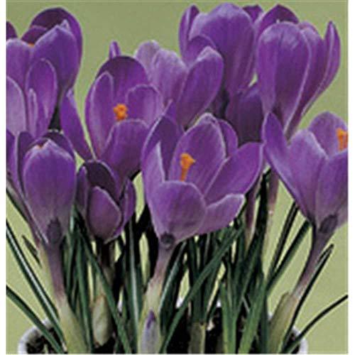 Crocus - Frühlings-Krokus \'Flower Record\', lila - im Topf 9 cm vorgetrieben, in Gärtnerqualität von Blumen Eber - 9 cm