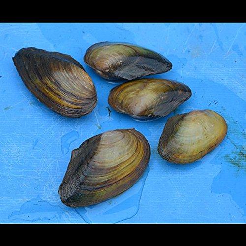Zierfischtreff.de 3 Stück Anodonta cygnea - Teichmuschel 5-10 cm Idealer Zusatzfilter für Ihren Gartenteich