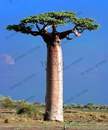 Generic Fresh 10 piezas de semillas de baobab para plantar Grey 3
