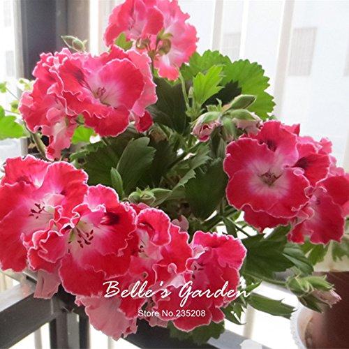 5pcs Couleurs multiples Variétés Géranium Graines Bonsai Pelargonium vivaces Graines de fleurs Hardy Patio Plante Plante en pot bricolage 06