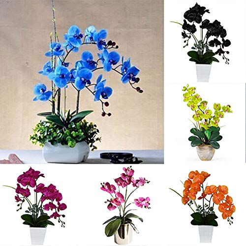 Oce180anYLVUK Semi di Phalaenopsis, 200 Pz/borsa Semi di Phalaenopsis Terreno acido Vibrante Bonsai Giardino Falena Semi di orchidea per la casa Phalaenopsis Seeds
