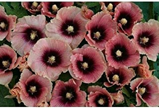 Alcea Bred Hollyhock Halo Apricot 8 Seeds #GM11
