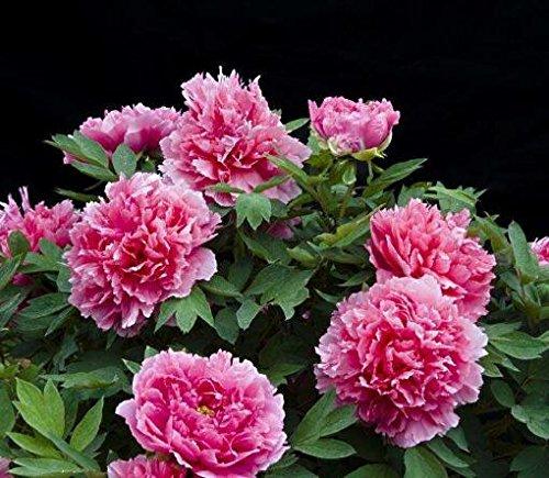 10pcs/sac de graines de pivoine, jaune, graines de fleurs de pivoine rose chinoise belles graines de bonsaï plantes en pot pour le jardin de la maison 12
