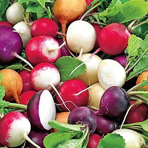 PLAT FIRM Germination Les graines: 100 - Graines: Gourmet Blend Radis Seeds - 10 variétés de radis !! Belles couleurs!!!!
