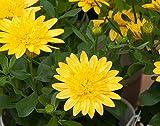 Kapkörbchen (Osteospermum) 'gelb gefüllt' 3 Pflanzen