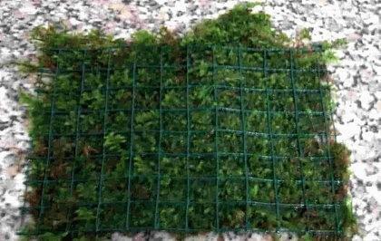 Javamoosmatte mit Gitter 15x10 cm, Javamoos, Aquariumpflanzen, Wasserpflanzen