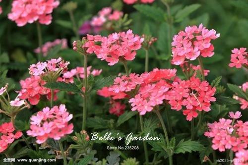 100pcs multi-couleurs Variété Verveine Graines Hardy Plantes Graines de fleurs exotiques Fleurs ornementales Bonsai Graines 08