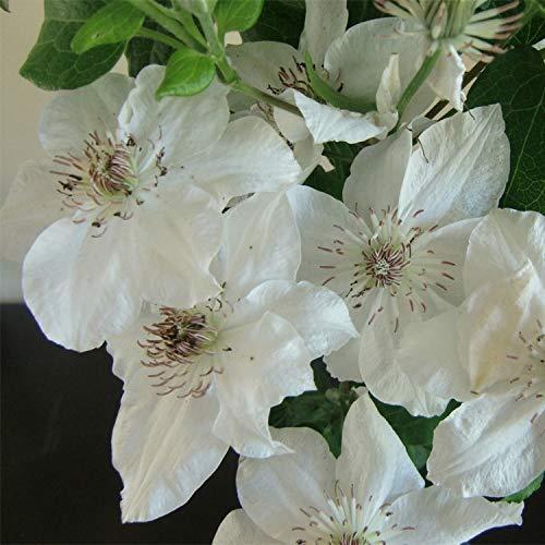 Clematis Destiny (Waldrebe) - Weiß und Winterhart - 1,5 Liter Topf | ClematisOnline Kletterpflanzen & Blumen
