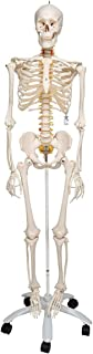 3B Scientific A15 Esqueleto, Flexible Sobre Pie Metálico con 5 Ruedas - 3B Smart Anatomy, Soporte clásico