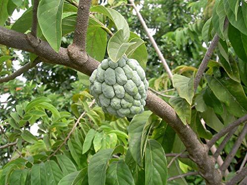 Cherimoya Rahmapfel - Exotisches Obst aus Asien - 5 große Samen