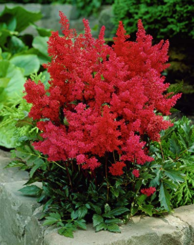 3 x Astilbe arendsii 'Astary Red'...
