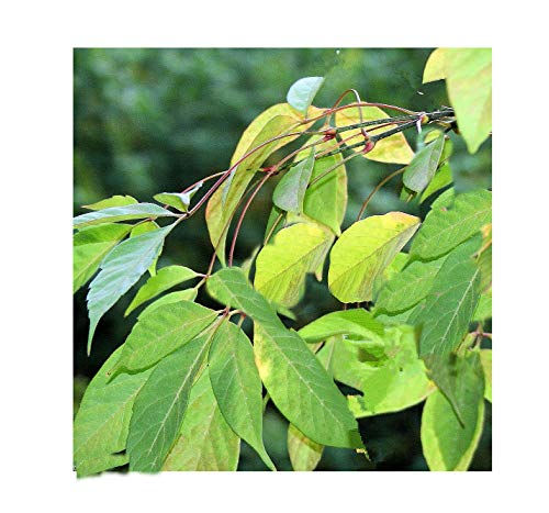 Acer henryi Henry Maple 10 Seeds Bonsai RARE Find! Leaves start out in a seductive blush of pink before turning to green Bonsai or Standard
