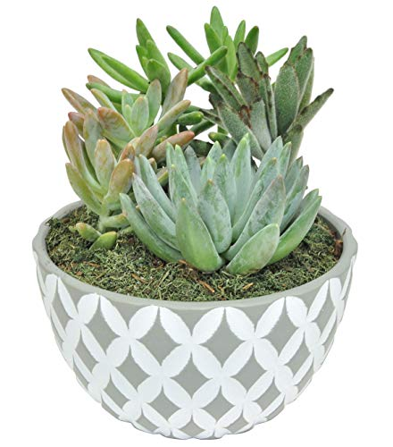 Costa Farms Succulents Fully Rooted Live Indoor Plant, 6-Inch Garden, in Ceramic Décor Planter Room Decor