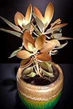 Kalanchoe Orgyalis Copper Spoons Spoon Rare Succulent Exotic Plant Seed 50 Seeds