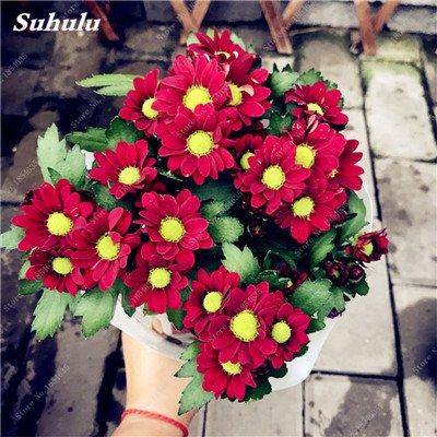 Grosses soldes! 50 Pcs Daisy Graines de fleurs crème glacée parfum de fleurs en pot Chrysanthemum jardin Décoration Bonsai Graines de fleurs 12