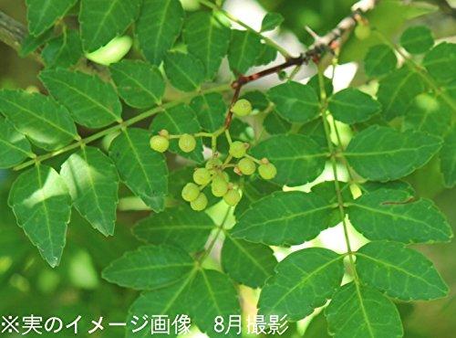 紫桜館山の花屋『サンショウ9cmポット仮植え苗』