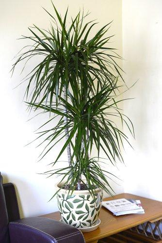 Zimmerpflanze für Wohnraum oder Büro – Dracaena marginata - Drachenbaum. Höhe ca. 70cm