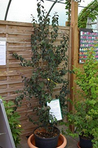 Cercidiphyllum japonicum Rotfuchs - Lebkuchenbaum - Katsurabaum - Kuchenbaum