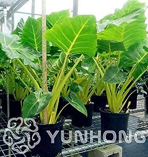 Grass Weed - 100pcs Pack Heirloom Alocasia Macrorrhiza Bonsai Flower Plant Sale Indoor
