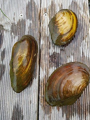 Wirbellosenzucht-Foltis Teichmuschel; Anodonta cygnea; Natürlicher Wasserfilter