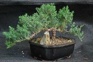 9GreenBox - Juniper Tree Bonsai with Ceramic Pot