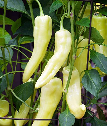 Banana Pepper Seeds, 100+ Premium Heirloom Seeds, Sweet Banana Peppers, Fantastic addition to your home garden! Delicious!(Isla's Garden Seeds),Non Gmo, 85-90% Germination Rates, Highest Quality Seeds