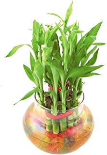 PHORE 2 Layer Lucky Bamboo Plant in Beautiful Glass Pot with Coloured Jelly Balls