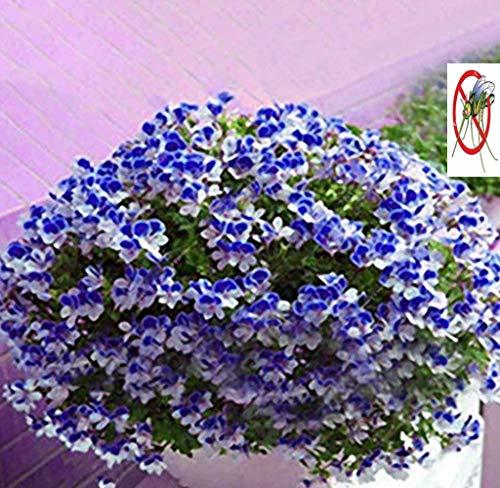 Tomasa Samenhaus- Geranium Samen, Duftgeranie Blumen Kraut Samen Bunte Blumentöpfen Saatgut winterhart mehrjährig Anti Moskito & Fliegen balkon frühling für Barkon, Garten (Farbe 3)