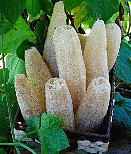 10 Samen Luffa aegyptiaca, Schwamm Gurke, Luffa sponge, Naturschwamm