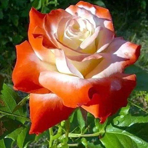 150PCS Rose Flower Seed Hollande Rose Graines amant cadeau arc-RARE 25 exotiques couleurs au choix de bricolage pour les plantes de jardin à la maison 13