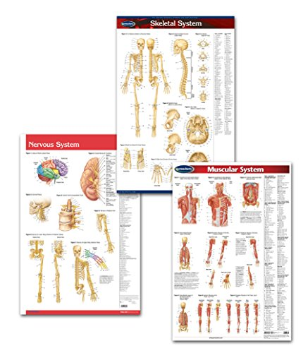 Physiotherapist Medical Anatomy Office Art Poster Bundle - 3 Laminated 24' x 36' Medical Wall Posters of The Skeletal System, Muscular System and Nervous System