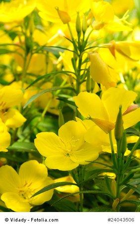 Nachtkerze Oenthera biennis 2-jährig Heilpflanze 1000 Samen