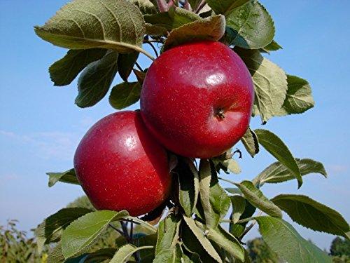 1a plant Jarle®, roter Säulenapfel, ausgezeichneter Geschmack, 80-100cm, im Topf