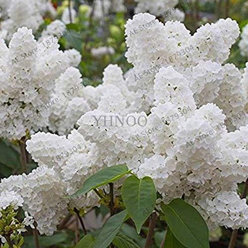 Bloom Green Co. ¡Más vendido!100 piezas de bonsái blanco lila japonés (extremadamente fragante) planta de flor de clavo para el hogar y amp; jardín, XAN3YW