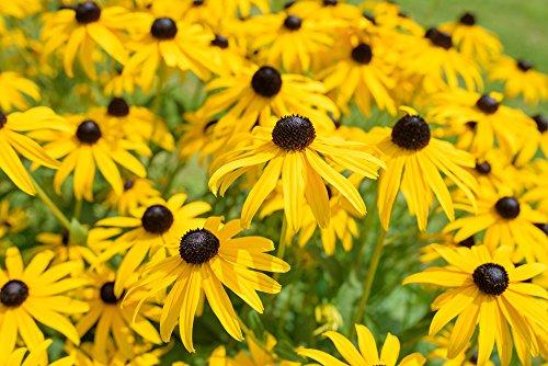 Rudbeckia hirta 200 Samen,Gloriosa Daisies - Sonnenhut Samen