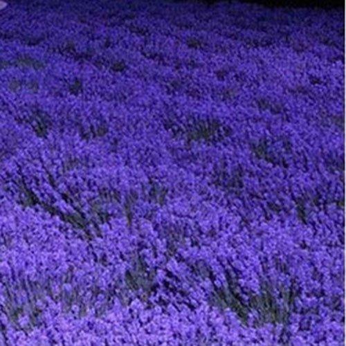 French Provence Lavande Graines de plantes en pot Seeds très parfumé 100 graines (Article No?: 1)