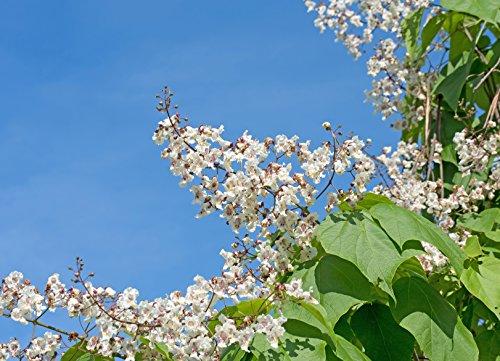 Trompetenbaum Catalpa bignonioides 40 Samen