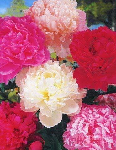 Mixed Peony Value Bag (3 Pack) - Freshly Dug Peony Flower Bulbs