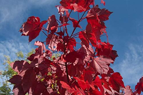 Rot-Ahorn Ac. rubrum Pflanze 25-30cm...