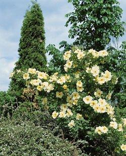 'Frühlingsgold', Strauchrose in A-Qualität Wurzelware
