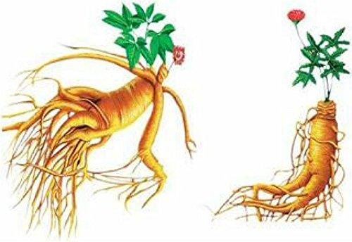 100pcs Légumes et fruits Graines Herbal Ginseng Graines Blanc semences américaine Bonsai Herbes Plantes Mini Garden Haute-nutrition alimentaire