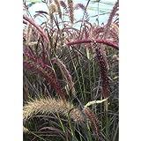 Pennisetum Setaceum Rubrum - Hierba para lámpara (13 cm, resistente al invierno), color rojo