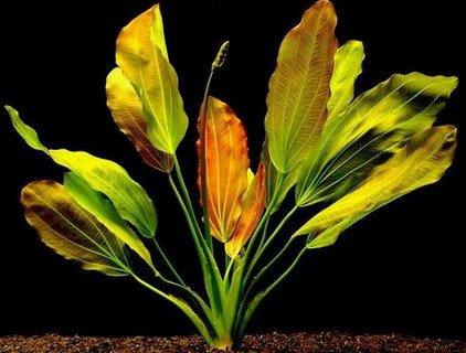 WFW wasserflora Rötliche Amazonas-Schwertpflanze/Echinodorus Osiris rubra
