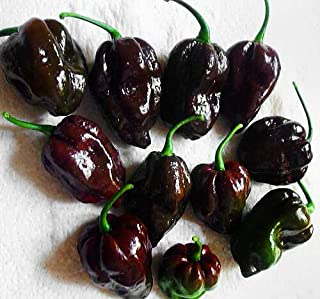 30+ Organically Grown Mulato Isleno Pepper Seeds Heirloom Non-GMO Chocolate Hot Vegetable Seeds for Planting HYS-RR