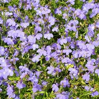 1000 Multi Seeds Pellets Lobelia Regatta Annual Flower Garden Seeds Beautiful (Sky Blue)